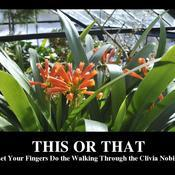 This or that let your fingers do the walking through the clivia nobilis 90a93d